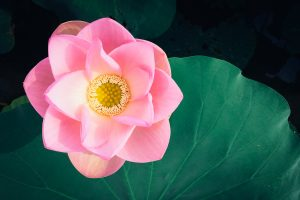 Fully opened pink water flower, Unsplash @shimikumi32